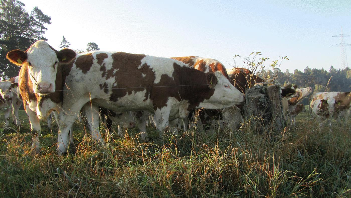 Naturhof Engel – unsere Produkte: Rinder