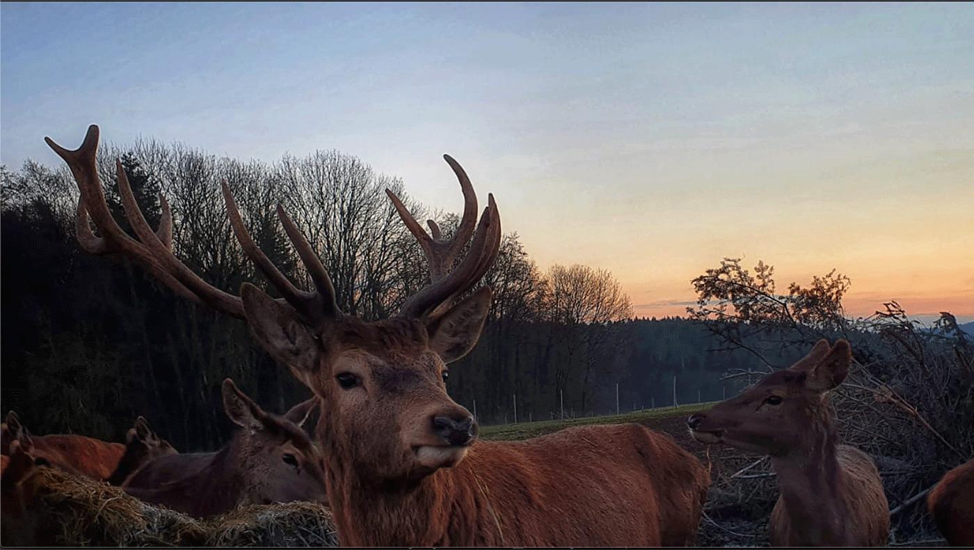 Naturhof Engel eigene Jagd: Rotwild