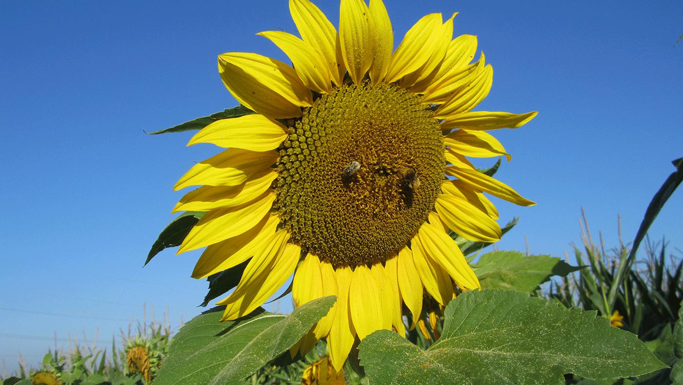 Unser Naturhof Sonnenblumen